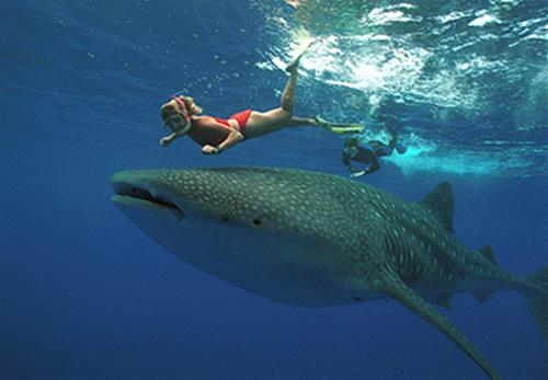 37191_whale-shark1.jpg