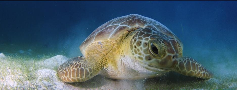 66358_turtle_snorkel4.png